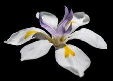 Fairy Flower Dark Background Bloom royalty free stock photo