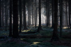 Fairy forest. Early sunlight in a dark pine plantation changes the scenery in a fairy forest stock image