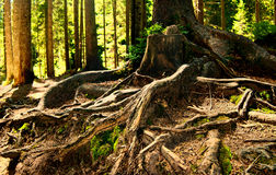 Fairy forest. With plexus of pine tree roots Stock Images