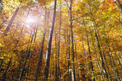 Fairy forest. Beautiful golden forest treetops in fall like from fairy tale Stock Photo