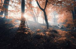 Magical old tree with sun rays in the morning. Forest in fog royalty free stock photo