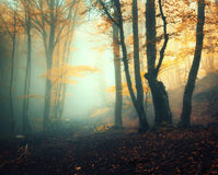Fairy forest in fog. Fall woods. Enchanted autumn forest in fog Royalty Free Stock Photo