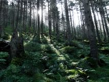 Fairy Forest. Forest in the morning and the sun's rays penetrate the Tatra National Park in Poland Stock Photo