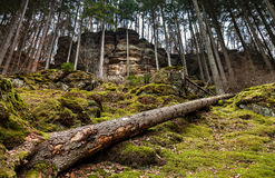Fairy forest with moss. Picture taken in the wonderful forest in Mullerthal, Luxembourg, green moss, a steep cliff and an overthrown large tree diagonal Royalty Free Stock Photography