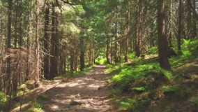 Fairy forest in summer Carpathians stock video