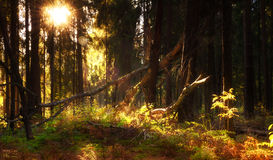 Fairy forest. The sun shines through the trees in the forest Royalty Free Stock Photography