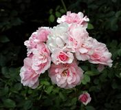 Pink The Fairy Rose photographed up close in a Public Park in Europe. The Fairy garden rose rosaceaepink photogrpahed up close. Photographed in Vrbovska Garden Stock Images