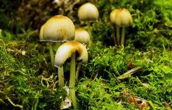 Fairy Inkcap mushroom, Coprinellus disseminatus Stock Images