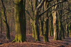 Fairy-like boomstammen in vroeg ochtendhout tijdens de herfst stock fotografie