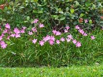 Fairy Lily flower stock photos