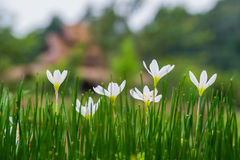 Fairy lily flowers in the flower garden Stock Photos