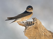 fairy martins Royalty Free Stock Photography