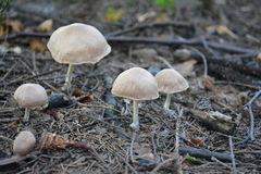 Fairy mushrooms Royalty Free Stock Photos