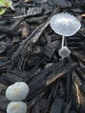 Fairy Mushrooms. Transluscent mushrooms with dew, Japanese Parasol or Pleated Inky Cap, Parasola plicatilis Royalty Free Stock Images