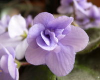 Fairy Nataly's violet Stock Images