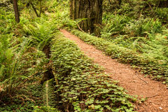 Fairy Pathway in the Redwoods Royalty Free Stock Image