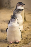 Fairy Penguin Stock Photo