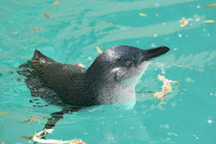 Fairy penguin (Eudyptula minor) Royalty Free Stock Photos