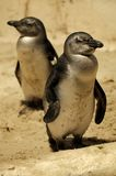 Fairy Penguins Royalty Free Stock Image