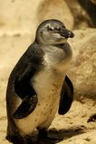 Fairy Penguins Stock Photography