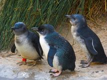 Fairy penguins royalty free stock images