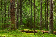 Fairy pinewood. The depths of a pine forest stock image