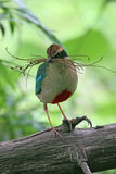 Fairy Pitta(1) Royalty Free Stock Photo