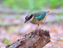 Fairy Pitta Royalty Free Stock Image