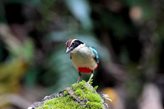 Fairy pitta, eight-color birds Royalty Free Stock Photo