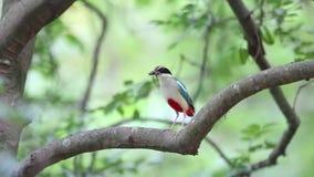 Fairy Pitta. (Pitta nympha) nesting