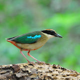 Fairy Pitta Royalty Free Stock Images