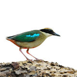 Fairy Pitta Royalty Free Stock Photo