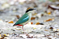 Fairy Pitta Pitta nympha Stock Photo