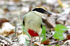 Fairy Pitta Pitta nympha. Bird of Thailand royalty free stock images