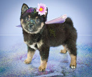 Fairy Princess. Sweet little Sheba Inu puppy dressed up in a fairy princess outfit with glitter on and around her, on a purple background royalty free stock image