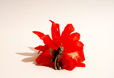 Fairy in the red flower blossom Stock Photography