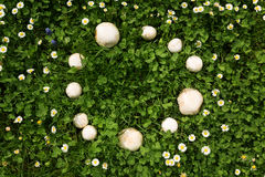 Fairy ring mushrooms in a meadow Royalty Free Stock Images