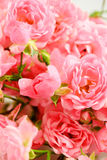 The Fairy rose stock images
