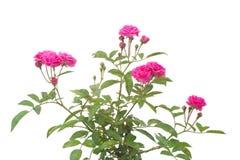 Fairy Rose. Isolated on white background Royalty Free Stock Photos