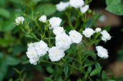 Fairy rose Royalty Free Stock Photo