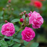 Fairy rose Royalty Free Stock Image