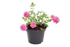 Fairy Rose. Isolated on white background Royalty Free Stock Image