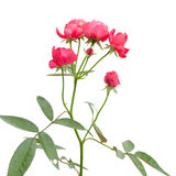 Fairy rose Royalty Free Stock Images
