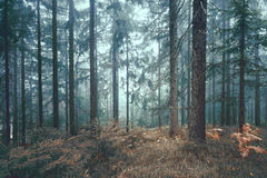 Fairy tale conifer tree foogy forest Stock Photography