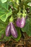 Fairy Tale Eggplant (Solanum melongena) Stock Images