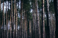 Fairy tale fir tree forest. Pine Forest. A rural road through a Royalty Free Stock Photography