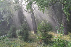 Fairy tale forest. Solar beams. Foggy morning in a  forest Stock Images