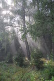 Fairy tale forest. Solar beams. Foggy morning in a  forest Royalty Free Stock Photo