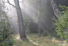 Fairy tale forest. Solar beams. Foggy morning in a forest stock photo