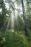 Fairy-tale forest. Solar beams. Foggy morning in a forest royalty free stock images